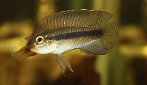 アピストグラマ イニリダエ 東海 岐阜 熱帯魚 水草 観葉植物販売 Grow aquarium