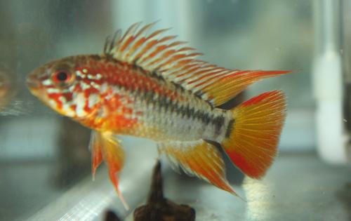 ヴィエジタ スーパーレッド ウィルヘルム 東海 岐阜 熱帯魚 水草 観葉植物販売 Grow aquarium