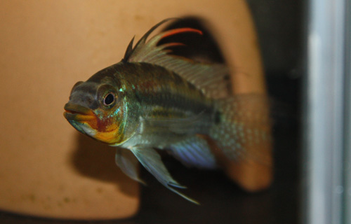 アピストグラマ ユルエンシス イエロー ワイルド 東海 岐阜 熱帯魚 水草 観葉植物販売 Grow aquarium