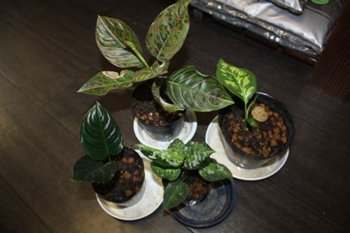 メタリカ、トリカラー、ディフェンタイガー、タイガー×バイカラー 東海 岐阜 熱帯魚 水草 観葉植物販売 Grow aquarium