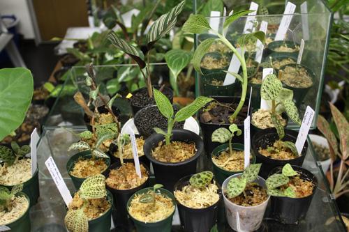 Jewel orchid ジュエルオーキッド 東海 岐阜 熱帯魚 水草 観葉植物販売 Grow aquarium