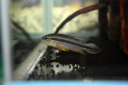 アピストグラマ アガシジー ラーゴテフェ ワイルド 東海 岐阜 熱帯魚 水草 観葉植物販売 Grow aquarium