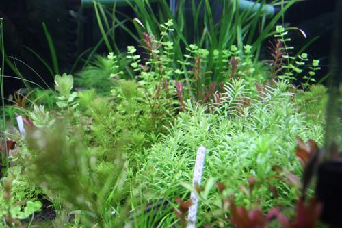 水草の状態も良好です。東海 岐阜 熱帯魚 水草 観葉植物販売 Grow aquarium