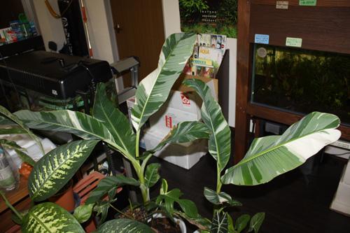 ムサ フロリダ Musa Florida 東海 岐阜 熱帯魚 水草 観葉植物販売 Grow aquarium