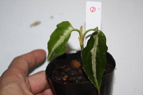 ①アグラオネマsp.ホワイトライン 東海 岐阜 熱帯魚 水草 観葉植物販売 Grow aquarium