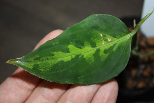 ③アグラオネマsp.トリカラー 東海 岐阜 熱帯魚 水草 観葉植物販売 Grow aquarium