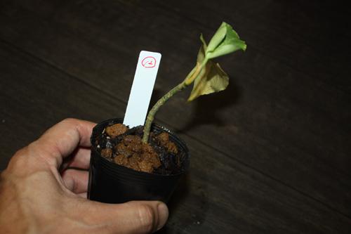 ⑫アグラオネマsp.トリカラー 東海 岐阜 熱帯魚 水草 観葉植物販売 Grow aquarium