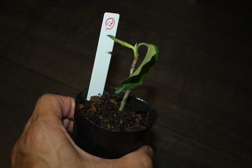 ⑬アグラオネマsp.ホワイトライン 東海 岐阜 熱帯魚 水草 観葉植物販売 Grow aquarium