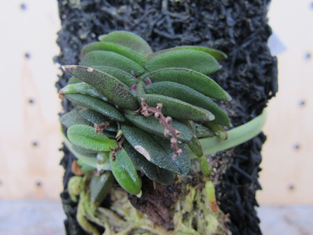 Schoenorchis fragrans