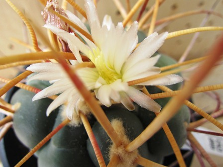 緋冠竜の花①