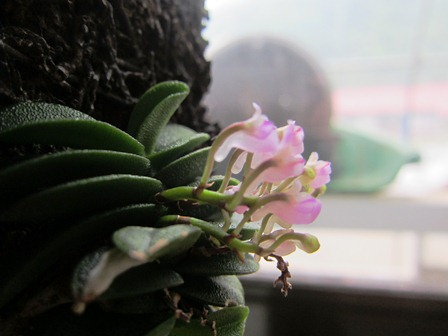 Schoenorchis fragrans2