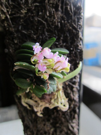 Schoenorchis fragrans1