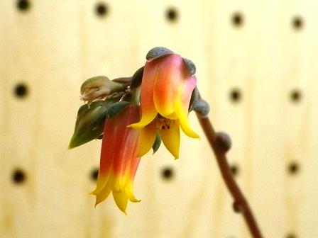 エケベリア花