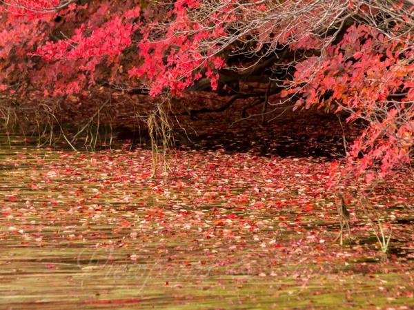 白駒の池の紅葉 B