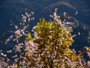 紅葉と冬桜 B