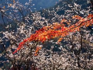 紅葉と冬桜 C