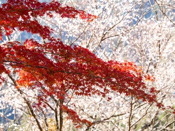 紅葉と冬桜 A
