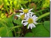 12110410 ヨメナの花 CIMG1213