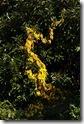12110413黄葉するヤマイモCIMG1203