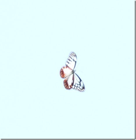 14092808 アサギマダラ