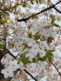 中野桜 育毛