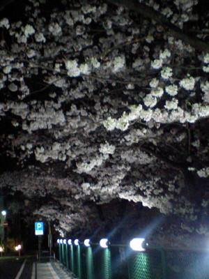武蔵小杉・二ヶ領用水夜桜