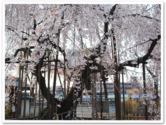 しだれ桜☆地蔵院