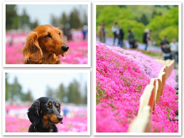 芝桜☆秩父・羊山公園