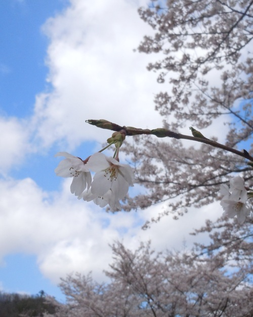 DSCN1792桜2