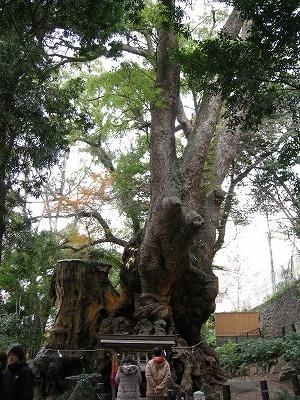 来宮神社の大楠2