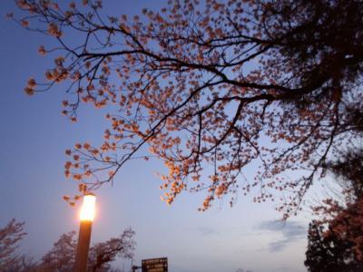 DSC_0112_convert_20120422151822夕暮れ桜