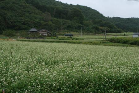 金砂郷のそば畑