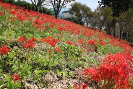 大平崎公園の彼岸花