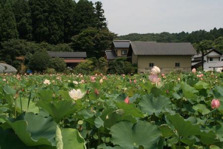千渡町の蓮田