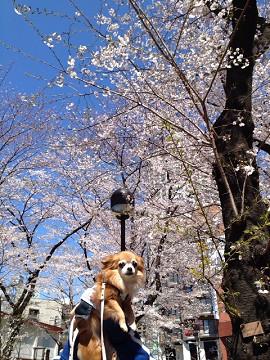 ルビーと桜