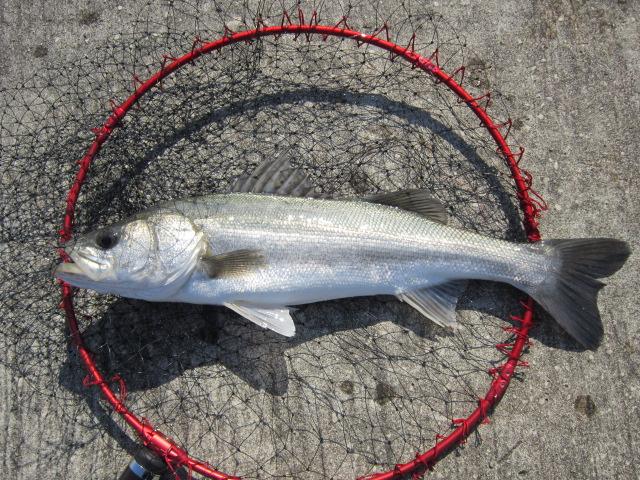 岸和田の沖の一文字で釣った超美白系(笑)のおハネさま♪
