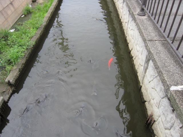 コイがぎょうさん泳いでおります(*^_^*)