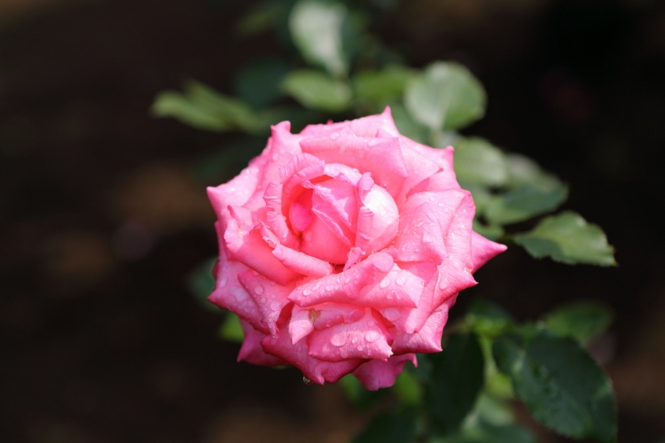 furukawa-rose_0001f.jpg