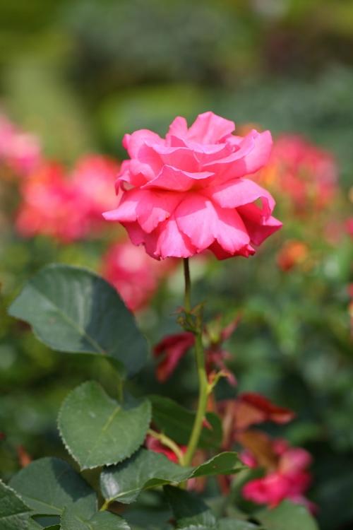 furukawa-rose_0009f_20120606213320.jpg