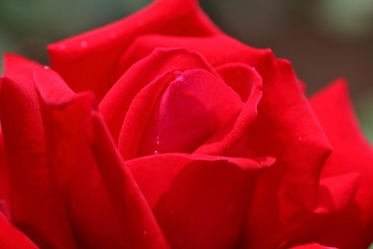 furukawa-rose_0010f_20120604193409.jpg