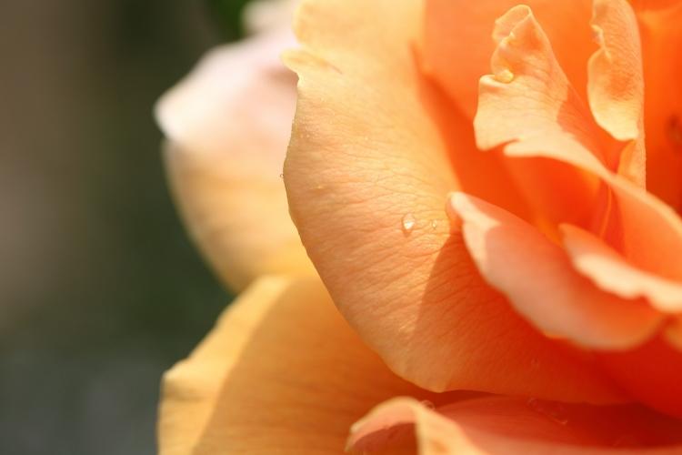 furukawa-rose_0011f.jpg