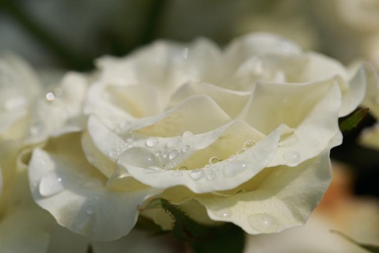 furukawa-rose_0012f_20120604191122.jpg