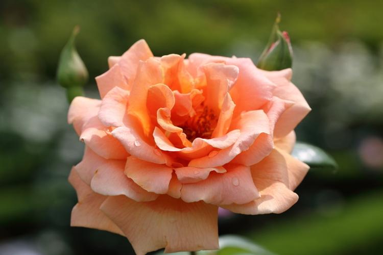 furukawa-rose_0017f.jpg