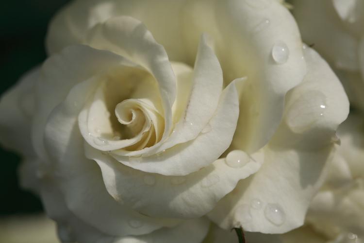furukawa-rose_0023f.jpg