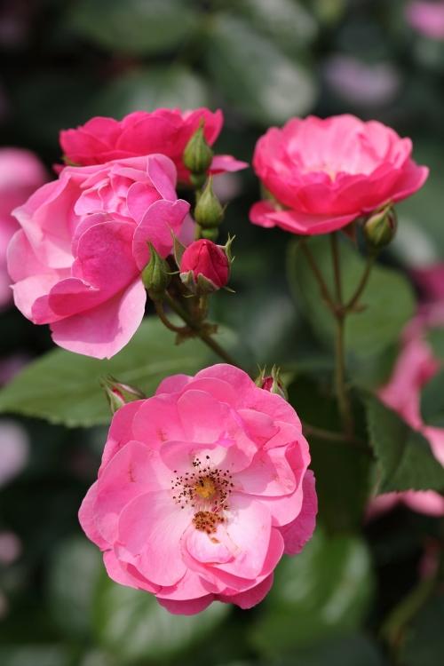 furukawa-rose_0027f_20120606213431.jpg