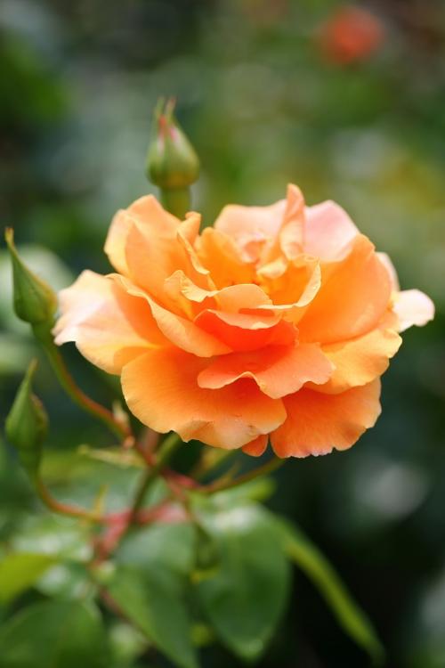 furukawa-rose_0028f_20120606213432.jpg