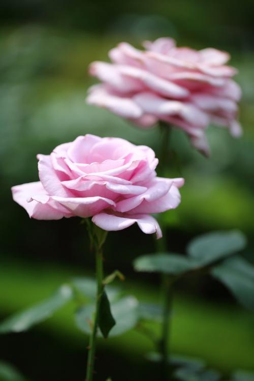 furukawa-rose_0030f_20120606213433.jpg