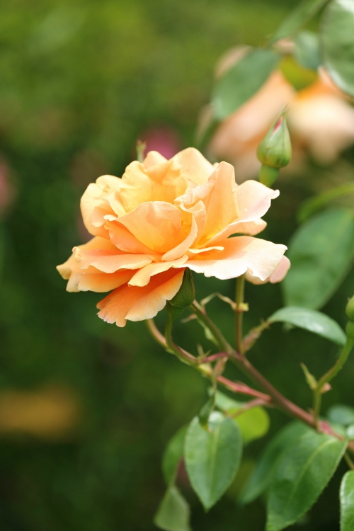 furukawa-rose_0035f_20120606213435.jpg