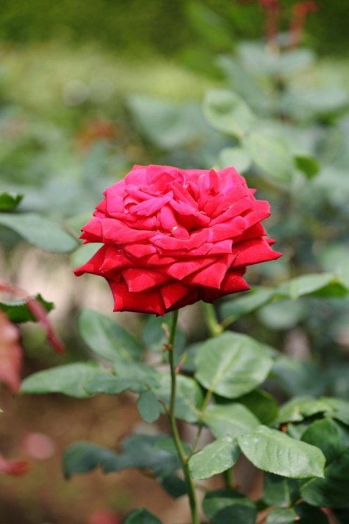 furukawa-rose_0036f_20120606213510.jpg
