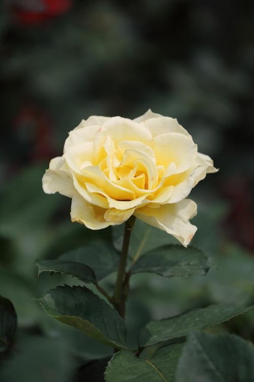furukawa-rose_0040f.jpg